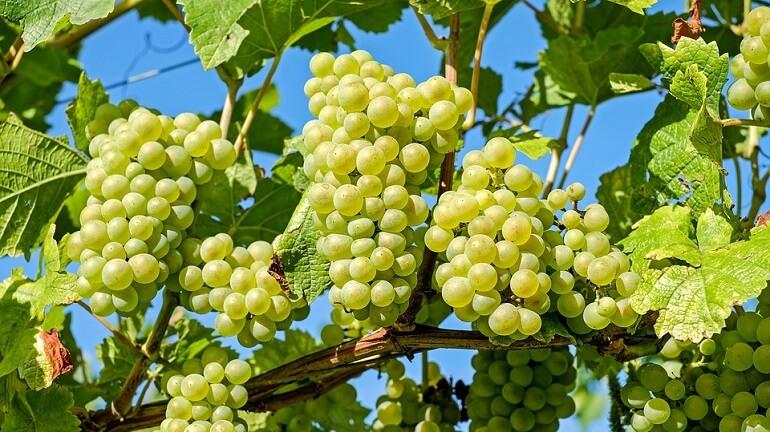 Стимуляторы и регуляторы роста для винограда
